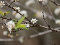 Phóng sự ảnh: Mùa xuân Tây Bắc